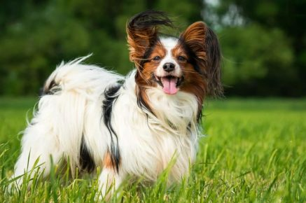 Continental Toy Spaniel Papillon