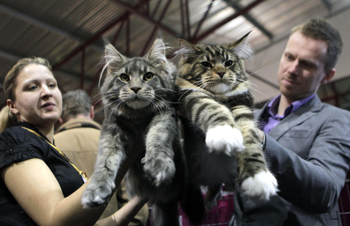 2 chats du Maine Coon