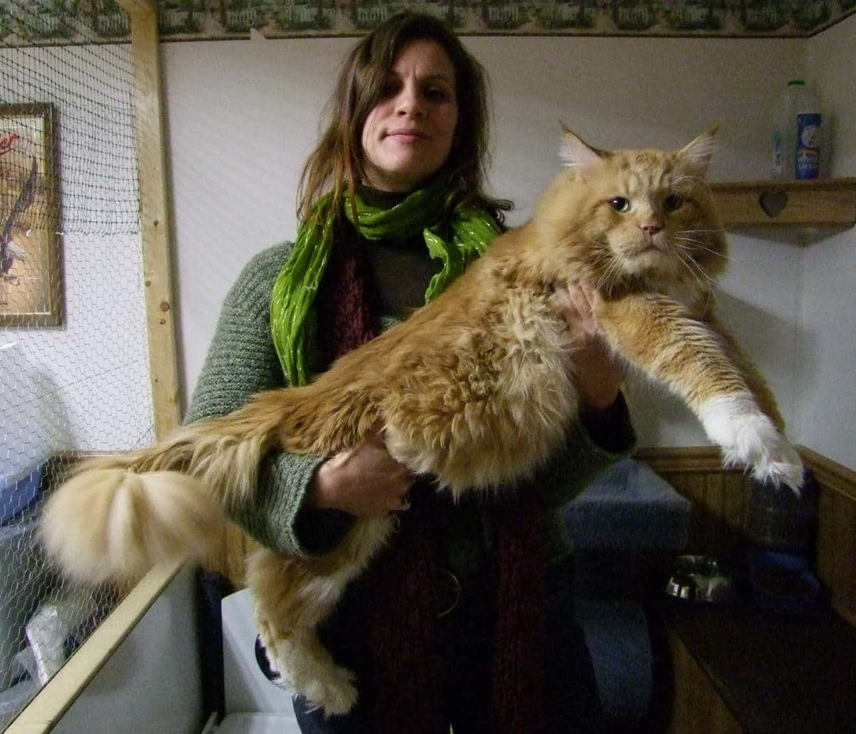 Gros chat rouge Maine Coon