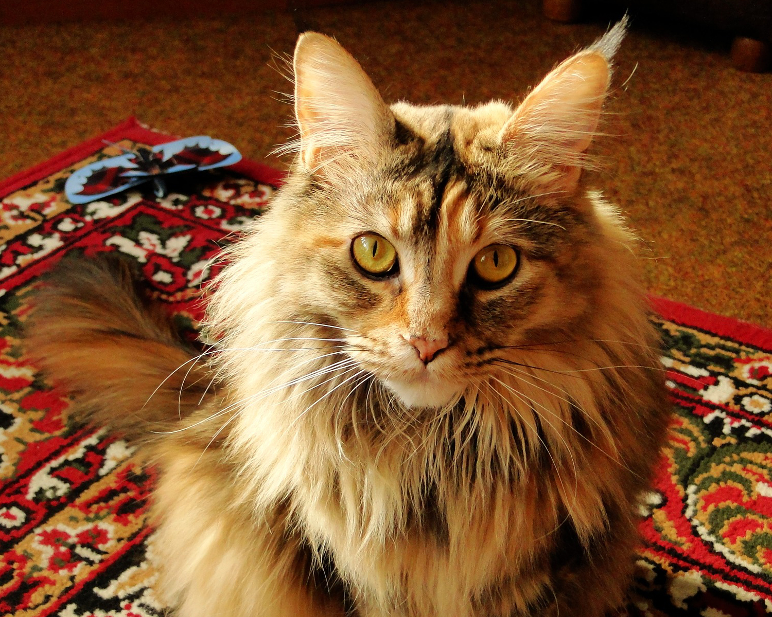 photo maine coon