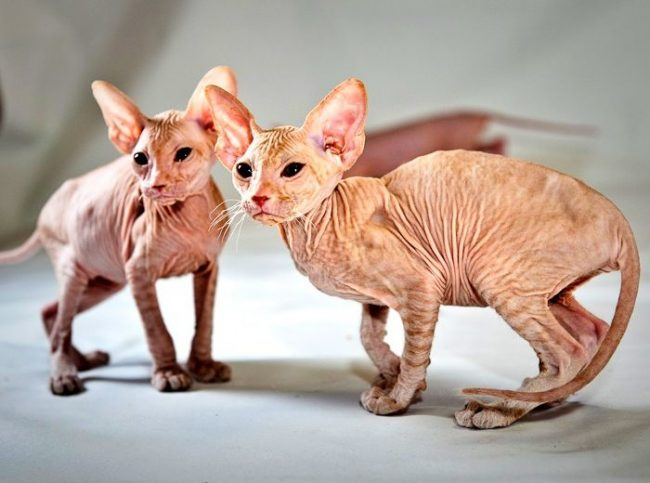 Chatons nus peterbald